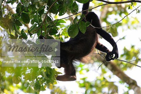 Female mantled howler monkey, Alouatta palliata, hanging by her prehensile tail while feeding on tree leaves in the forest canopy. Barro Colorado Island, Barro Colorado Nature Monument, Panama. Stock Photo - Premium Royalty-Free, Image code: 6106-05487961