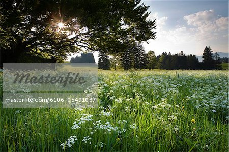 bavarian meadow Stock Photo - Premium Royalty-Free, Image code: 6106-05491037