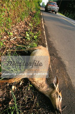 Animal accident Stock Photo - Premium Royalty-Free, Image code: 6106-05493873