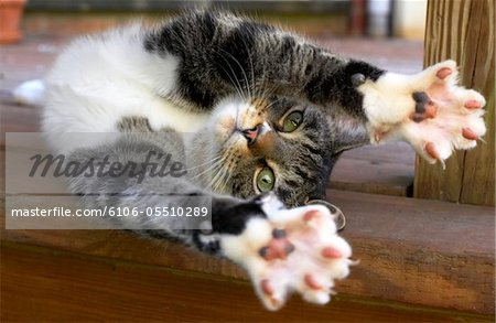 Cat stretching, indoors Stock Photo - Premium Royalty-Free, Image code: 6106-05510289