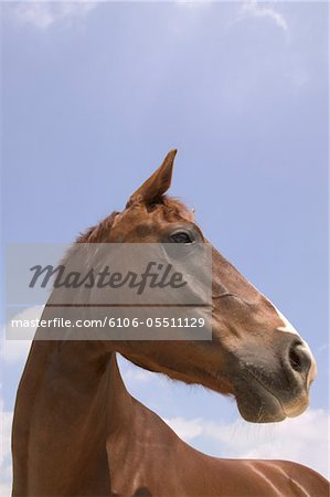 Horse standing against blue sky, close-up Stock Photo - Premium Royalty-Free, Image code: 6106-05511129