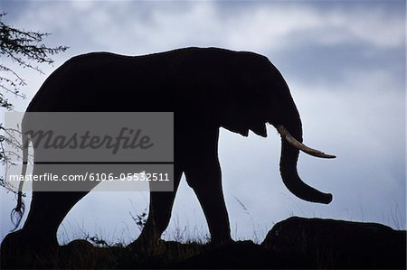 Silhouette of African elephant (Loxodonta africana) on savannah, Kenya Stock Photo - Premium Royalty-Free, Image code: 6106-05532511