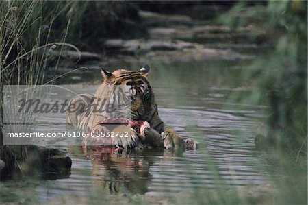 Tiger (Panthera tigris) lying down in shallow water, eating kill, Rajasthan, India Stock Photo - Premium Royalty-Free, Image code: 6106-05532752