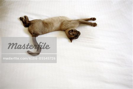 Burmese cat stretching out on duvet, overhead view Stock Photo - Premium Royalty-Free, Image code: 6106-05545726
