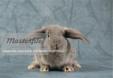 Grey Rabbit, Studio Shot Stock Photo - Premium Royalty-Free, Image code: 6106-05594487