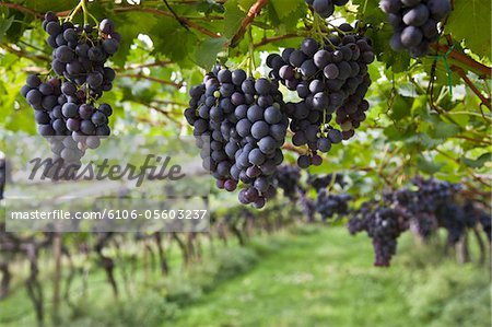 Italy, South Tyrol, vineyards near Caldaro Stock Photo - Premium Royalty-Free, Image code: 6106-05603237