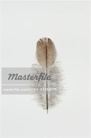 Feather against white background Stock Photo - Premium Royalty-Free, Image code: 6106-05758975