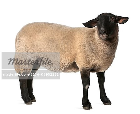 Female Suffolk sheep - Ovis aries (2 years old) Stock Photo - Premium Royalty-Free, Image code: 6106-05952231