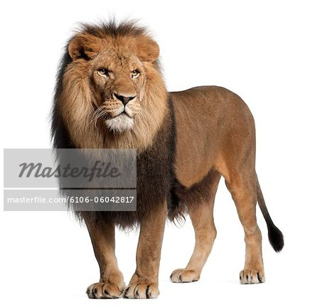 Lion standing and looking away Stock Photo - Premium Royalty-Free, Image code: 6106-06042817