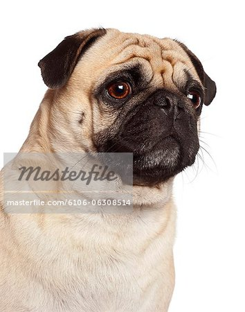 Close-up of a Pug (3 years old) Stock Photo - Premium Royalty-Free, Image code: 6106-06308514
