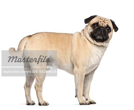 Pug (3 years old) Stock Photo - Premium Royalty-Free, Image code: 6106-06308519