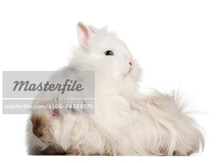 Rabbit standing on a guinea pig Stock Photo - Premium Royalty-Free, Image code: 6106-06308570