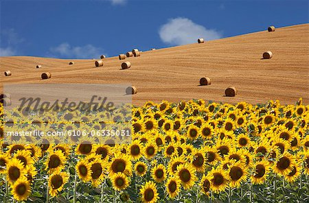 sunflowers  and wheat field Stock Photo - Premium Royalty-Free, Image code: 6106-06335031