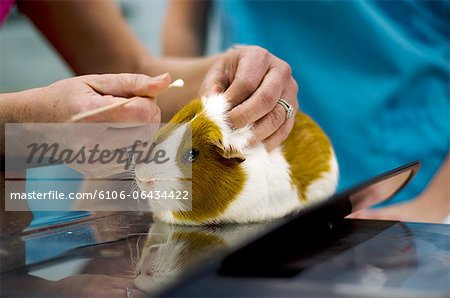 Guinea Pig Stock Photo - Premium Royalty-Free, Image code: 6106-06434422