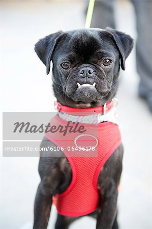 Pug Puppy Stock Photo - Premium Royalty-Free, Image code: 6106-06496178