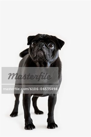 Pedigree Pug looking up against white Stock Photo - Premium Royalty-Free, Image code: 6106-06535494