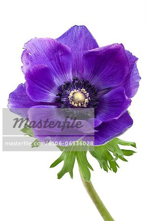 blue Anemone flower Stock Photo - Premium Royalty-Free, Image code: 6106-06536028