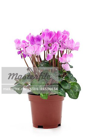 pink cyclamen Stock Photo - Premium Royalty-Free, Image code: 6106-06536034