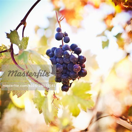 Zinfandel grapes growing on vine Stock Photo - Premium Royalty-Free, Image code: 6106-06536541