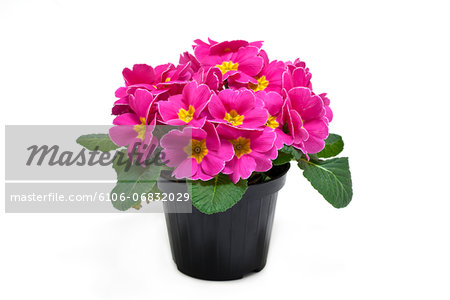 potted primrose Stock Photo - Premium Royalty-Free, Image code: 6106-06832029