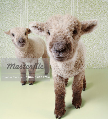 Two Lambs Indoors With Floral Wallpaper Stock Photo - Premium Royalty-Free, Image code: 6106-07002704
