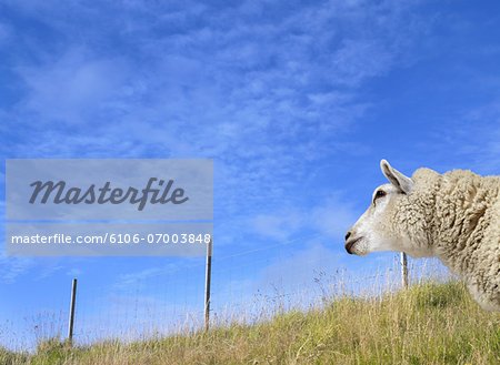 White Sheep Standing in a Field Stock Photo - Premium Royalty-Free, Image code: 6106-07003848
