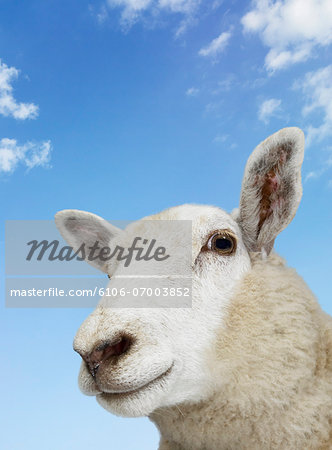 Close Up of a Sheep Against Blue Sky Stock Photo - Premium Royalty-Free, Image code: 6106-07003852