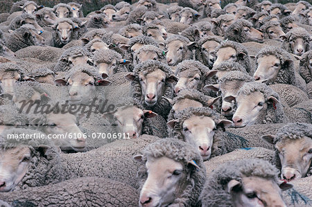 Flock of sheep Stock Photo - Premium Royalty-Free, Image code: 6106-07006911
