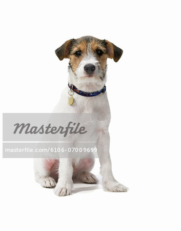 Studio Portrait of a Jack Russell Stock Photo - Premium Royalty-Free, Image code: 6106-07009699