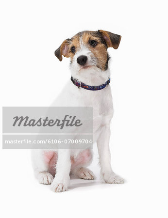 Studio Shot of a Jack Russell Stock Photo - Premium Royalty-Free, Image code: 6106-07009704