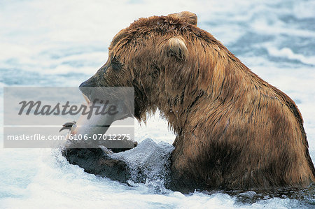 Brown Bear (Ursus arctos), Brooks Falls, Katmai National Park, Alaska, USA Stock Photo - Premium Royalty-Free, Image code: 6106-07012275