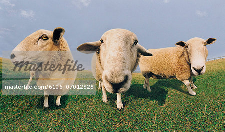 Close-up of Sheep Stock Photo - Premium Royalty-Free, Image code: 6106-07012828