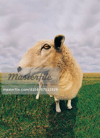 Close-up of Sheep Stock Photo - Premium Royalty-Free, Image code: 6106-07012829