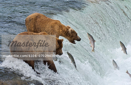 Two Brown Bears catching salmon at Brook Falls Stock Photo - Premium Royalty-Free, Image code: 6106-07029436