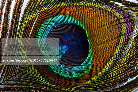Close up of a peacock's feather Stock Photo - Premium Royalty-Free, Image code: 6106-07120844