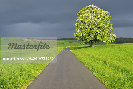 Chestnut Tree with Road Stock Photo - Premium Royalty-Free, Image code: 6106-07350734