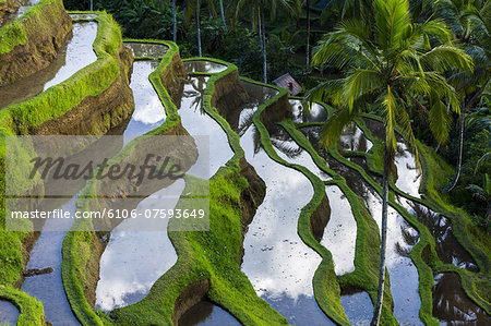 Rice terraces in central Bali Indonesia Stock Photo - Premium Royalty-Free, Image code: 6106-07593649