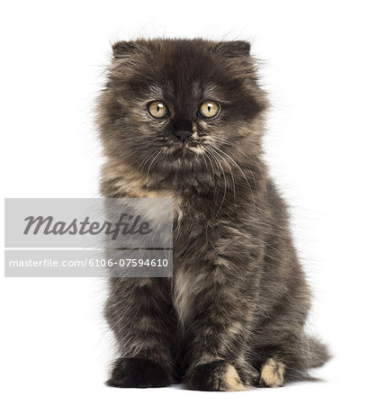 Highland fold kitten looking at the camera Stock Photo - Premium Royalty-Free, Image code: 6106-07594610