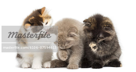 Kittens sitting, having a wash Stock Photo - Premium Royalty-Free, Image code: 6106-07594613