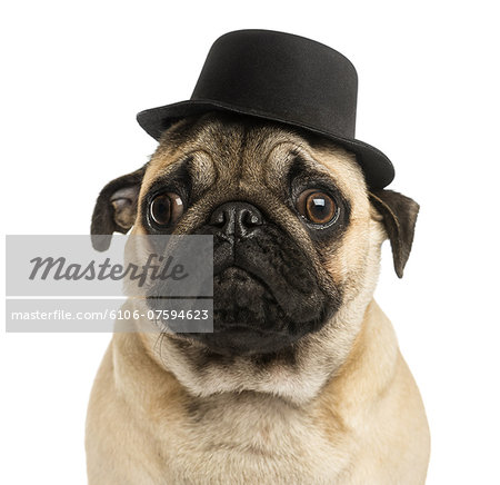 Close-up of a Pug puppy wearing a top hat Stock Photo - Premium Royalty-Free, Image code: 6106-07594623
