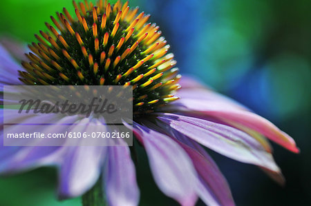 Flower details Stock Photo - Premium Royalty-Free, Image code: 6106-07602166