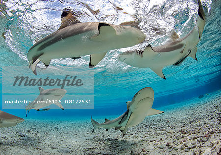 Black-Tip Reef Sharks in shallow-water lagoon Stock Photo - Premium Royalty-Free, Image code: 6106-08172531