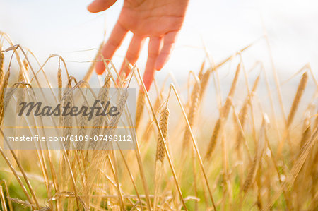 Close up of a woman's hand touching wheat ears Stock Photo - Premium Royalty-Free, Image code: 6109-07498112