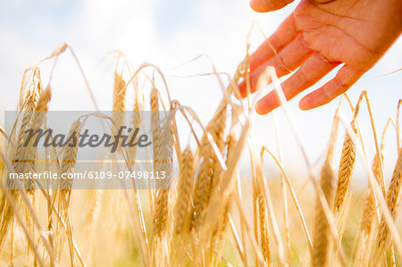 Close up of a woman's hand touching wheat ears Stock Photo - Premium Royalty-Free, Image code: 6109-07498113