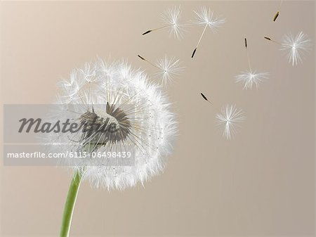 Close up of seeds blowing from dandelion on beige background Stock Photo - Premium Royalty-Free, Image code: 6113-06498439
