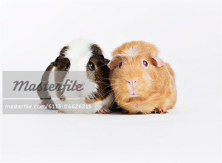 Guinea pigs sitting together Stock Photo - Premium Royalty-Free, Image code: 6113-06626215