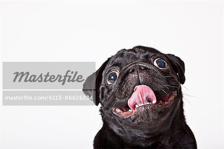 Close up of dog's panting face Stock Photo - Premium Royalty-Free, Image code: 6113-06626234