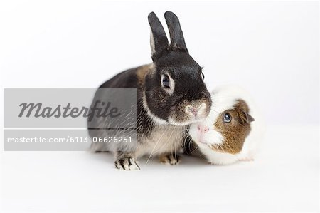 Rabbit and guinea pig meeting Stock Photo - Premium Royalty-Free, Image code: 6113-06626251