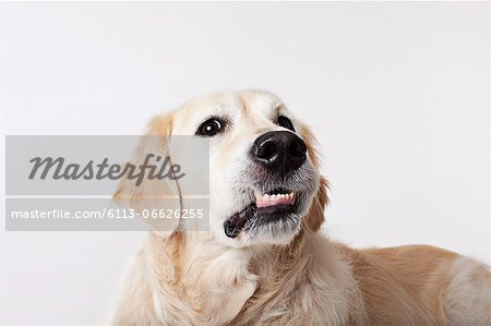 Close up of dog's growling face Stock Photo - Premium Royalty-Free, Image code: 6113-06626255