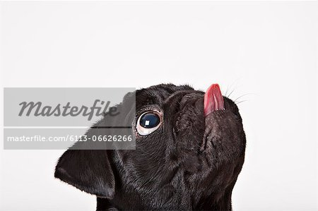 Close up of dog licking his face Stock Photo - Premium Royalty-Free, Image code: 6113-06626266